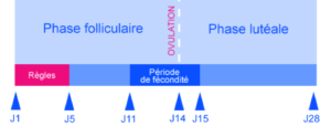 phase folliculaire ovulation phase lutéale