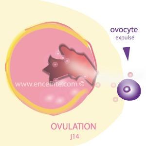 ovulation-expulsion de l'ovocyte